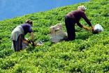 192 milyon lira, yaş çay destekleme primi ödemesi yapıldı
