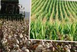 Aydın'da pamuk ve mısır üreticileri desteklemelerinin ödenmesini bekliyor