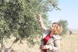 Kilis'te zeytincilerin zeytin sineği ile mücadelesi
