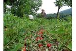 Kütahya'da etkili olan dolu yağışı tonlarca çileğe zarar verdi