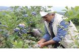 Bursa'da yaban mersini üretcisi dönümden 80 bin lira kazanıyor