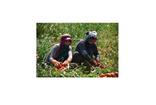 Doç. Dr. Görkem Eskiizmir, tarım işçilerini dudak kanseri riskine karşı uyardı