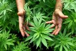 Dilipak'tan olay kenevir yazısı: Uyuşturucu ve bonzaiden kurtulmak için çözüm!