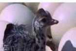 1,5 ayda yumurtadan çıkan devekuşu yavrusu 500 liradan satılıyor