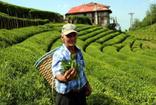 ÇAYKUR 830 kilo üretilen beyaz çayı, kilosu 4 bin liradan satışa sundu