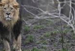 """Hindistan'da  23 aslan """"gençlik hastalığı""""ndan telef oldu"""