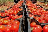 Mersin'den dünyanın dört bir yanına domates ihracatı