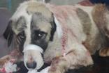 Parkta bıçaklanmış halde bulunan köpek ameliyata alındı