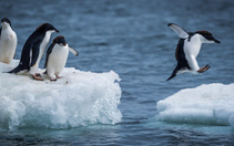 Kaybolan penguen 2500 km yüzdü!