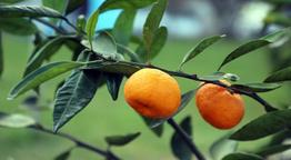 Müthiş proje! Çocuk parkları meyve ağaçlarıyla donatılıyor