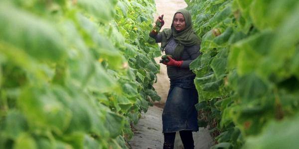 Mersinli çiftçinin 1 liralık salatalığın 8 lira isyanı