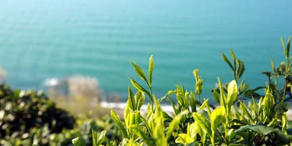 Çay hasadı bu yıl Doğu Karadeniz'de erken başlayacak