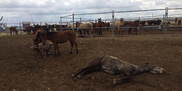Konya'da bakımsızlıktan ölen atlar için sahibine 23 lira ceza