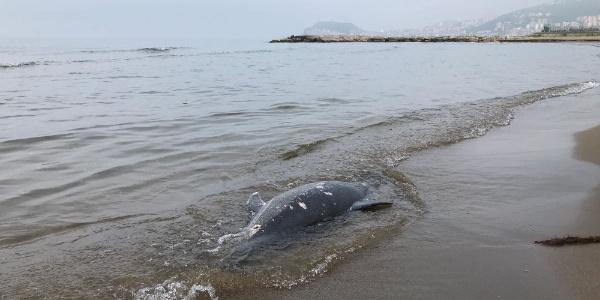 Karadeniz'de yunuslara birşeyler oluyor: 11 günde 37 yunus karaya vurdu