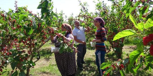 Mersin'de 'kara dut' hasadı bu yıl erken başladı