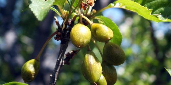 Don yüzünden meyvelerin kuruduğu Yozgat'ta pet şişeli önlem işe yaradı