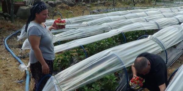 Çilek üretimine 5 fideyle başladı, 8 ton hasada ulaştı