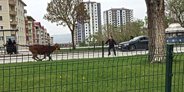 Erzurum'da ipini koparan dana yüzünden sahibi 10 kilometre koştu