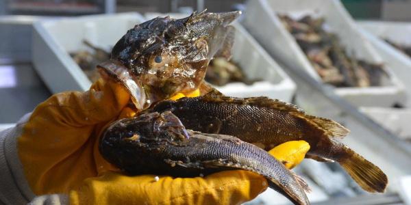 Korkutucu görünümlü iskorpit balığı balıkçı tezgahında