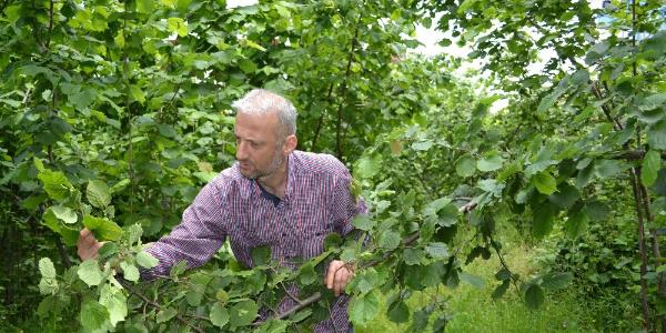 Fındık bahçelerini gezen üreticinin yüzü asıldı: Rekolte düşük gelecek