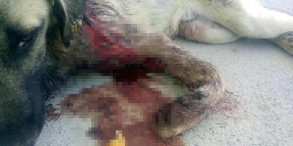 Bodrum'da dere yatağında bulunan köpeğin vücudundan 145 saçma çıkarıldı