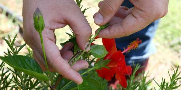 Mersin'de doğa uğur böcekleri ile korunacak