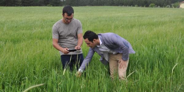 10 bin yılık Siyez buğdayı Afyonkarahisar'da baş vermeye başladı