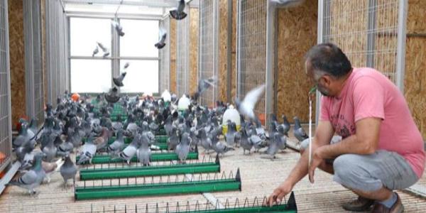 Edirne'de 300 posta güvercini 8 Eylül'deki yarışmaya hazırlanıyor