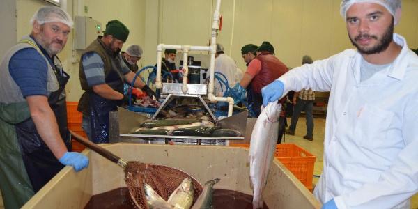 Trabzon'dan Uzakdoğu ülkelerine somon balığı ihracatı hız kazandı