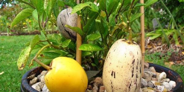 Manisa'da yetiştirdiği Güney Amerika meyvesi pepinoya sipariş yağıyor