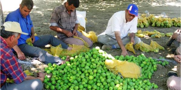 Aydın'da kaliteli incir için sıkı denetim