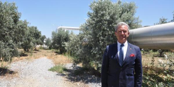 Aydın'da zeytin ve incir ağaçlarındaki kurumanın nedeni belli oldu