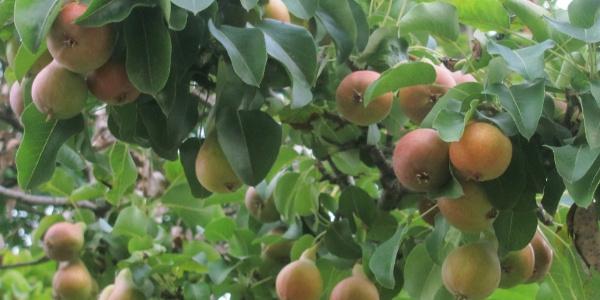 Gaziantep'te armut mevsiminden 3 ay erken olgunlaştı