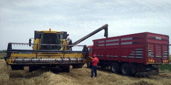 Edirne'de başlayan buğday hasadında çiftçinin yüzü gülmüyor