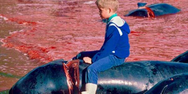 Avrupa'da balina avı adına 300 yıllık vahşet sürüyor