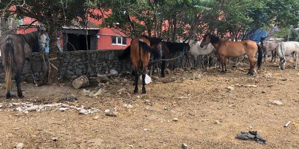 Adalar için Erzincan'dan getirdiği atlarla Kartal'da kabusu yaşıyor