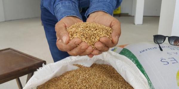 Osmaniye'nin karakılçık buğdayı kilosu 5 liradan satışa sunuldu