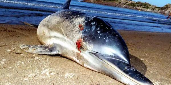 Bodrum sahilinde yunus vahşeti: 8 kurşunla vurulmuş halde bulundu