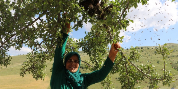 Kadın arıcı maske kullanmadan binlerce arıyı kovana yerleştirdi