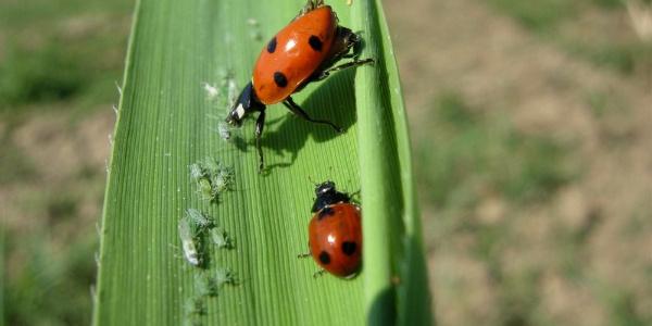 Aydın'da pamuk üreticilerine yaprak biti uyarısı