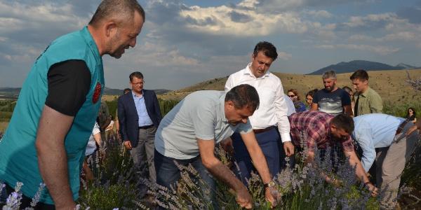 Burdur'daki  dev lavanta bahçelerinde hasat zamanı