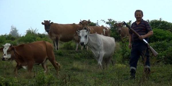 Trabzon'da çobanlar sığırlar için tüfekle nöbet bekliyor