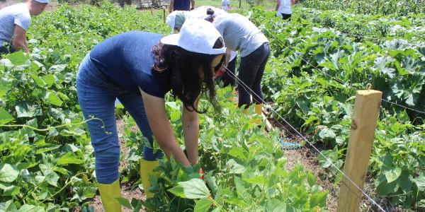 Ziraat Fakültesi öğrencileri fakülte bahçesinde hasada başladı