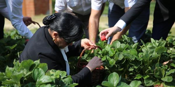 Muğla'da 'Vali Hanım' çileğini Vali Hanım topladı