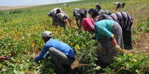Niğde'deki fasulye tarlalarında hasat zamanı