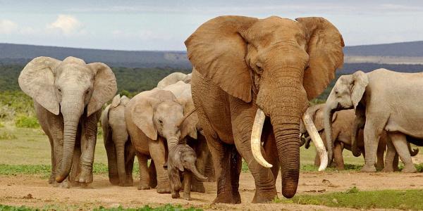Myanmar, 70. yıl hatırasına Rusya'ya 3 fil gönderiyor