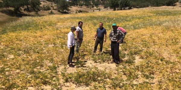 Mersin'in Mut ilçesinde nohut üreticisini Antraknoz hastalığı vurdu