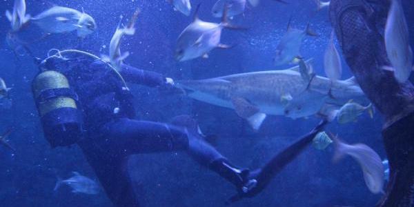 Dalgıçların en zor görevi: Köpek balıklarını elleri ile besliyorlar
