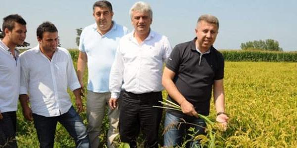 Samsun'un Bafra Ovası'nda çeltik tarlaları alarm veriyor