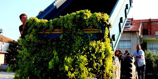 Sarıgöl'de traktör dolusu üzümler kilosu 80 kuruştan alıma başlandı